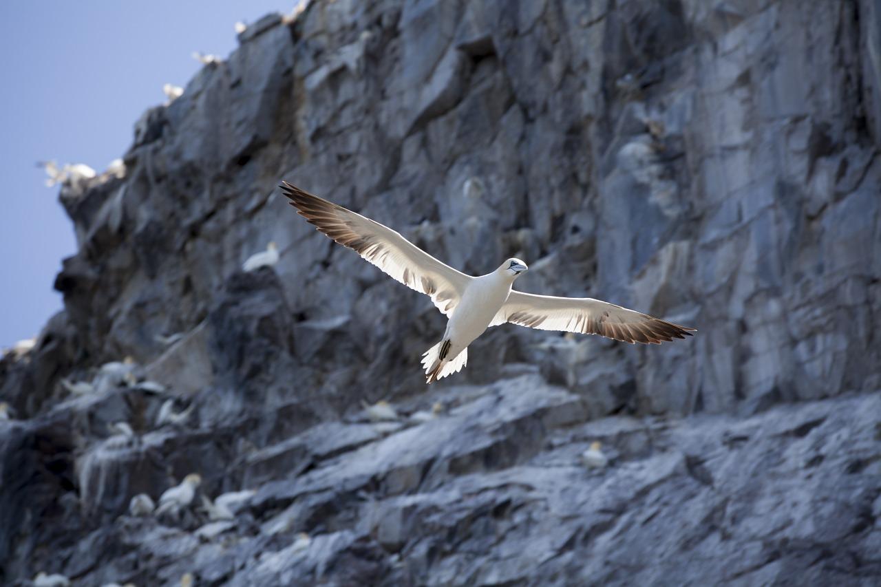 gannet, bass rock, bird